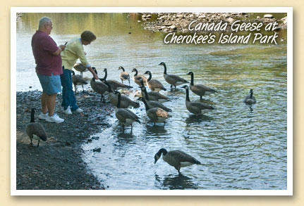 Canada Geese at Cherokee\'s Island Park